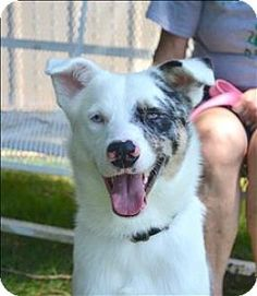 Delaware, OH - Australian Shepherd Mix. Meet Picasso, a dog for adoption. http://www.adoptapet.com/pet/15905489-delaware-ohio-australian-shepherd-mix