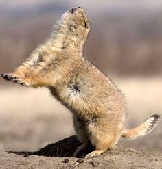 Prairie Dog barks are the best!   That means he is excited and happy