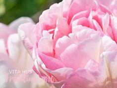 Gefüllte Tulpen in rosa purpur und weiss