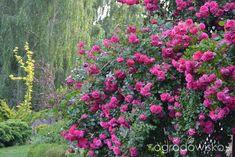 Kolorowy ogród na piasku - strona 553 - Forum ogrodnicze - Ogrodowisko Malaga, Plants, Plant, Planets