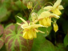 fleur des elfes jaunes