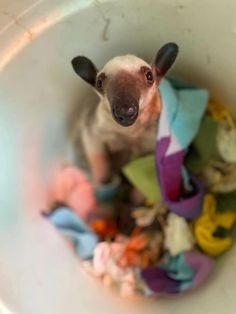 Isla, the most adorable tamandua on the planet! Cincinnati, South America, Kangaroo, Animals, Baby Bjorn, Animales, Animaux, Kangaroos, Animal