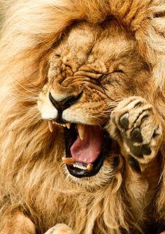 Lion qui dit---HAHAHA arrete t'est trop drole,je vais pisser dans ma soute de poils.:P