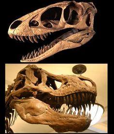 Comparatif entre les crânes de  Raptorex  (haut) et Tyrannosaurus  (bas). Par Ryan Somma