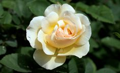 The roses of this collection are managed organically