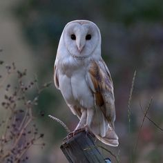 Barn Owl (Tyto alba) - photo by Mike Gould