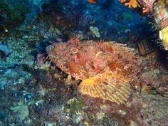 Stonefish (Scorfano)