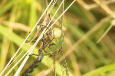 'Libelle an Grashalm' von toeffelshop bei artflakes.com als Poster oder Kunstdruck $19.41
