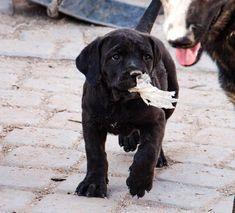 www.elitek-9.com  #bandogge, #protectiondogs, #CEO, #militaryk9, #exotics #vonriesig American Bandogge Mastiff, Executive Protection, Working Dogs, Luxury Life, Dog Training, Labrador Retriever, Animals, Labrador Retrievers, Luxury Living
