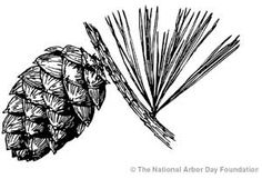 drawings of pine cones and pine boughs | Drawing of a pine cone and pine tree branch with pine needles.
