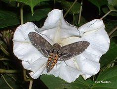 Carolina sphinx Manduca sexta