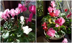 How to propagate Cyclamen from seeds