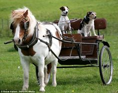 Jack Russells in a cart patiently awaiting their ride home