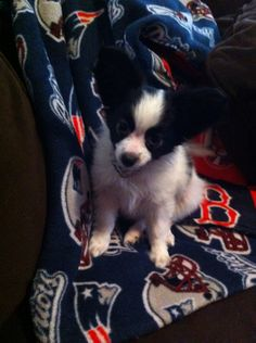 My new Papillon puppy, Jasper!!!