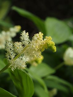MAIANTHEMUM racemosum …. highly scented, shade lover .. flowering in the spring.