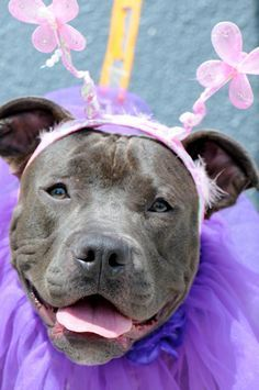 It's a Pit Bull ballerina or course!