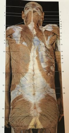 Muscles of back in deep layer (erector spinae muscles): 11 ...