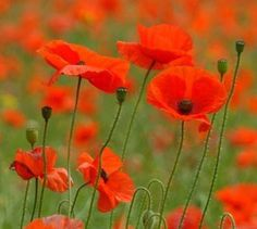 Beautiful poppy's