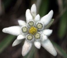 Unusual Flowers, Rare Flowers, Amazing Flowers, Wild Flowers, Alpine Flowers, Virtual Flowers, Edelweiss, Home Grown Vegetables, Hardy Perennials