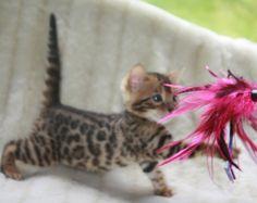 Bengal Cattery (purebred Bengal kittens) - Bengal Diamondz