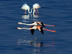 Flamingos in flight as they arrive to the shores of Kuwait. EPA/RAED QUTENA  EPA