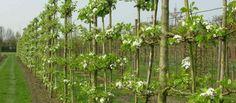Van den Berk Nurseries | Topiary and espalier trees