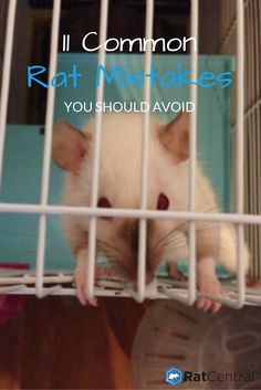 11 Common Rat Care Mistakes You Should Avoid - RatCentral Rat Cage Diy, Pet Rat Cages, Rat Facts, Diy Rat Toys, Rat Cage Accessories, Pet Rodents, Hamsters, Animals And Pets, Cute Animals