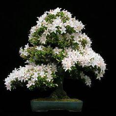 Image detail for -Batemans Bay Bonsai - Satsuki Azalea Bonsai Seeds, Bonsai Plants, Bonsai Flowers, Indoor Bonsai, Ikebana, Cherry Bonsai, Miniature Trees, Art Japonais, Jasmine