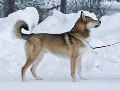 """Routa"" owned by Anna Kasia - East Siberian Laika http://www.russiandog.net/laikas.html"