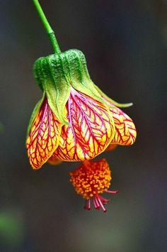 Абутилон пятнистый или полосатый (Abutilon pictum) (Abutilon)cемейство Мальвовые (Malvaceae Juss) — род однолетних и многолетних трав, кустарников или небольших деревьев.