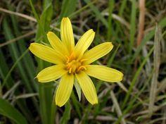 Kansas Wildflowers and Grasses - Prairie dandelion