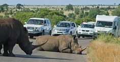 A rhino lies down in the middle of a road, blocking traffic through Kruger national park, South Africa. The three rhinos blocked the middle of the road for an hour.