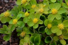 HACQUETIA epipactis  Early spring woodland plant with luminous yellow-green flowers.