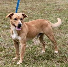 Son 17799 is an adoptable Labrador Retriever Dog in Prattville, AL.  Son is a 1-year-old male Lab mix. He is such a handsome young dog--brown with white markings. In fact--his white markings includ...
