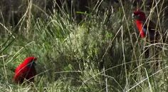 Rosellas grazing on grass seeds near Jarosite in Victoria Grass Seed, Seeds, Victoria, Bird, Animals, Animales, Animaux, Birds, Animal