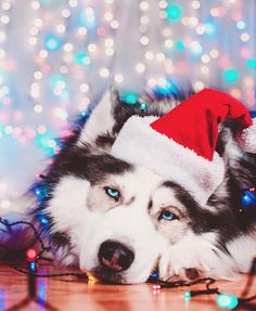 """2,706 Likes, 13 Comments - Featuring Huskies & Malamutes (@huskyphotography) on Instagram: """"Today's adorable photo of the day goes to @huskiesadventures ❤️ . Tag #huskyphotography for a…"""""""