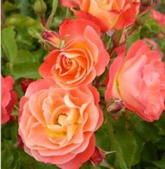 Easy-To-Grow Coral Cove Rose