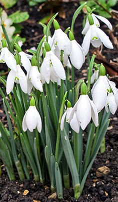 Snowdrops, plant bulbs in vintage tea cups and decorative vintage glass pots