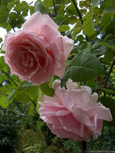 Photo of the rose 'Frederic Mistral ' Cut Flowers, Pink Flowers, Best Fragrances, Rose Photos, Plantation, Black Spot, Beautiful Roses, Garden Deco, Climber