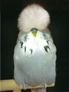 English Budgerigars (Parakeet) | because of that fabulous hair