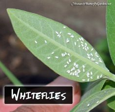 Whiteflies are a familiar milkweed menace in western states but they're starting to work their way east- milkweed pests and pest control ideas