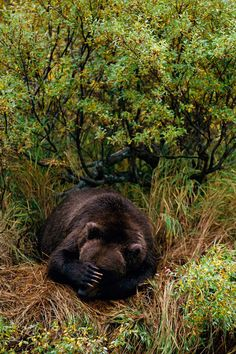 Love that this Bear is covering his eyes with an impressive paw and immense claws! I know Mr. Bear, I feel ya, the sun is too bright. I would have a coronary if I came upon this big fella in the woods! Let sleeping bears lie.