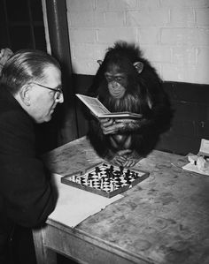 Abena the chimpanzee, who has yet to lose a chess game against a keeper at the London Zoo, concentrates on a chess book during a game, 1949.