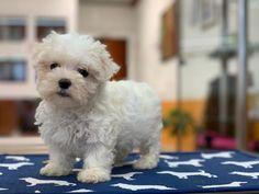 Puppies Available   Gorgeous Puppies Mini Goldendoodle Puppies, Shih Tzu Puppy, Chihuahua Puppies, Pomeranian Puppy, Bulldog Puppies, Cute Puppies, Mini Doberman, Doberman Pinscher Puppy, Mini Dachshund
