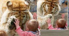 Câu chuyện cảm động đằng sau bức ảnh nổi tiếng Em bé xoa mặt hổ