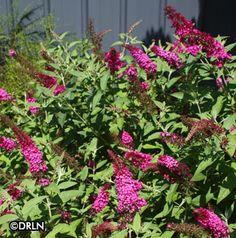 Buddleia davidii 'Miss Molly' Zone 5, 4-5' tall; 4-5' apart, full sun