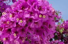 Cette plante méditerranéenne égaye nos jardins avec sa floraison abondante aux couleurs vives. Mettez-la en valeur en la plaçant près d'un muret, contre une façade ou dans un patio. Nos conseils pour garder votre bougainvillier en pleine forme.