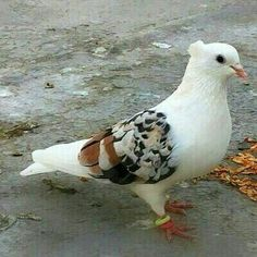 Domestic Pigeon Pigeon fanciers developed many exotic forms of pigeon. These are generally classed as fancy pigeons. Pigeon Cage, Pigeon Bird, Pretty Birds, Beautiful Birds, Lahore Pigeon, Cute Pigeon, Pigeon Loft Design, Racing Pigeon Lofts, Pigeon Pictures