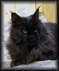 Greg has said that if we get a Maine Coon he wants a black one. I might have to take him up on that ;)