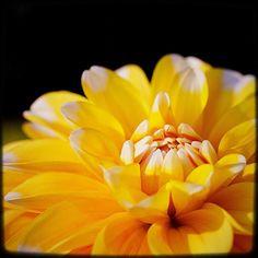 The yellow one that defines yellow. #pnw #macro_flowers #ig_flowers #flowerstalking #9vaga_flowersart9 #ig_mood #bestcaptureglobal #hot_macros #em_member #smallworld_uc #pocket_pretty #topfleur #fav_flowers_ #quintaflower #flowersandmacro #my_daily_flower #igscflowers #flipping_flowers #Macroandflora #macroclique #saylovetonature #tgif_macro #eye_for_earth #epix_flowerz #pocket_macro #flaming_flora #petal_perfection #lens_it2me